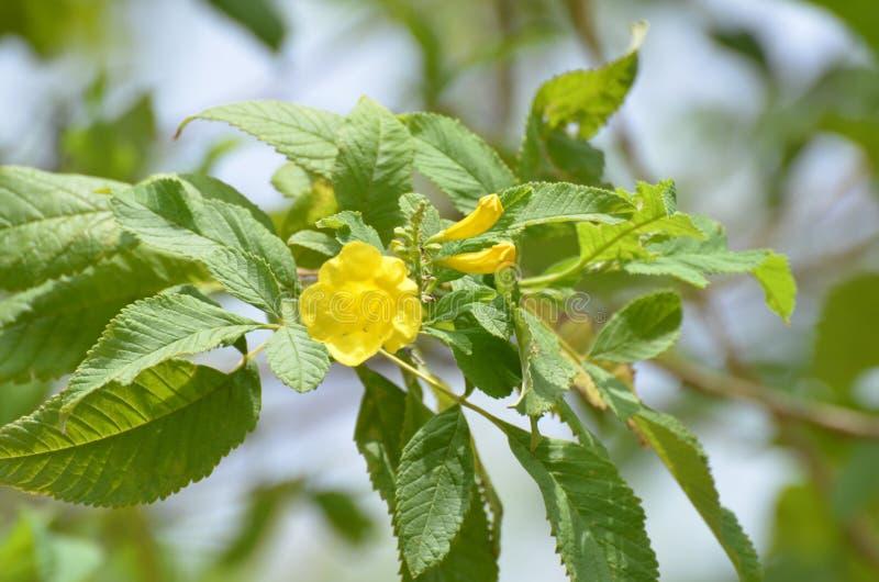 Tecoma gaudichaudi Tabebuia aurea树黄色花 免版税库存图片