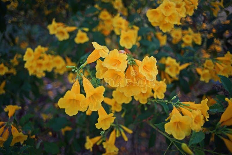 Tecoma stans,开花的灌木,紫葳科的种类在喇叭藤家庭的,共同的名字是黄色喇叭灌木,黄色 免版税库存照片