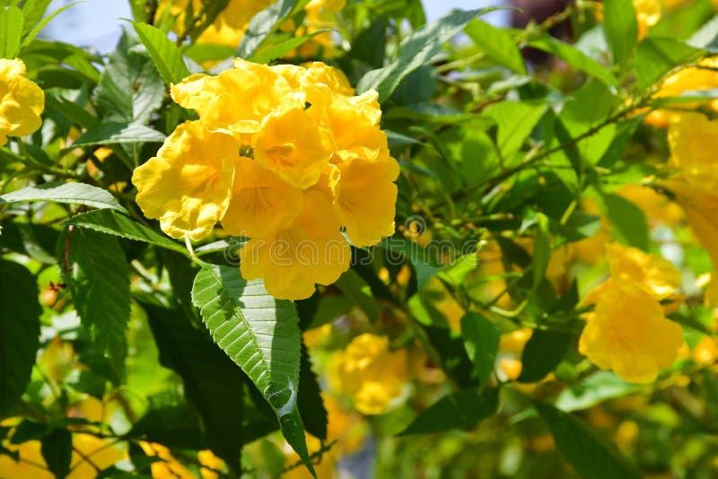 Tecoma stans in city garden in Trivandrum. India, Kerala.  royalty free stock photo
