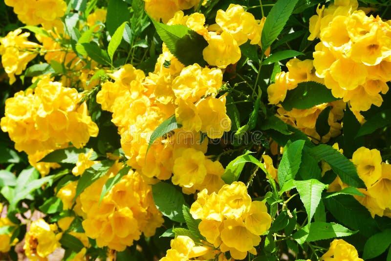 Tecoma stans in city garden in Trivandrum. India, Kerala.  royalty free stock photos