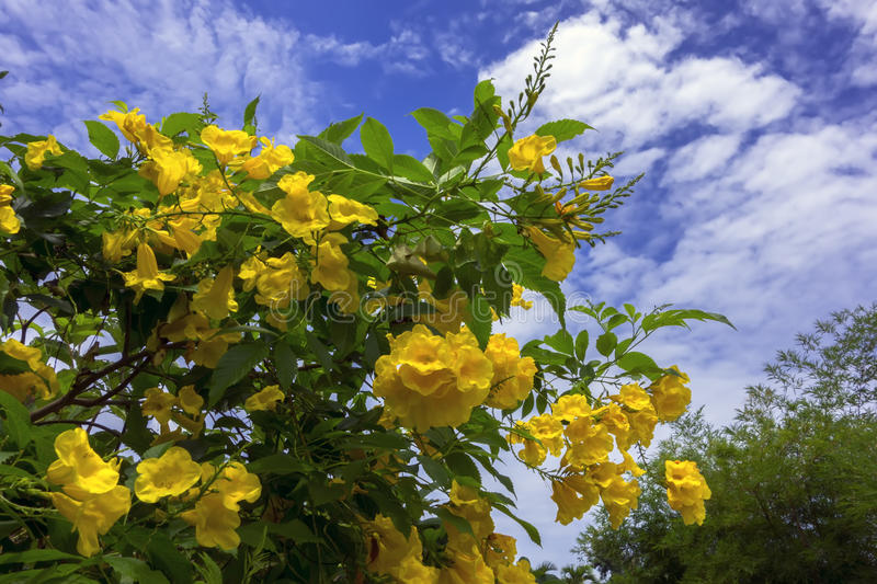 Tecoma Stans and Clouds. Tecoma Stans is species of flowering perennial shrub in trumpet vine family stock image
