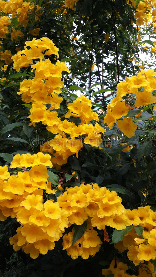Tecoma stans. With clusters of bright yellow flowers royalty free stock images