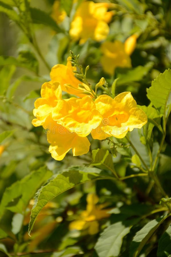 Tecoma stans flower. In nature garden stock photo
