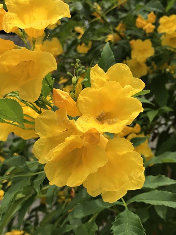 Tecoma stans of Gele Trumpetbush-bloem royalty-vrije stock foto
