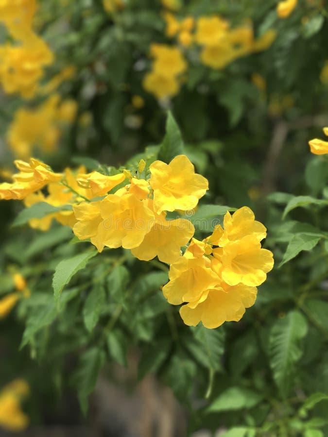 Tecoma stans of Gele Trumpetbush-bloem stock foto's