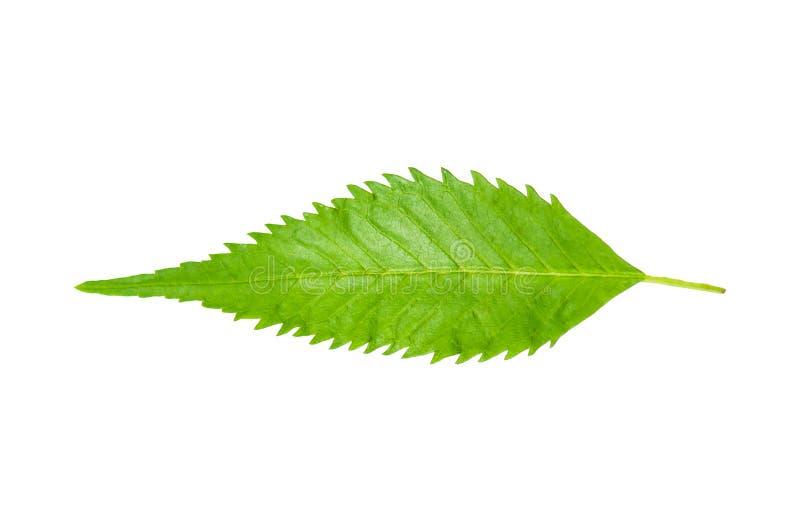 Tecoma stans leaf. Single Tecoma stans leaf on white background stock photos