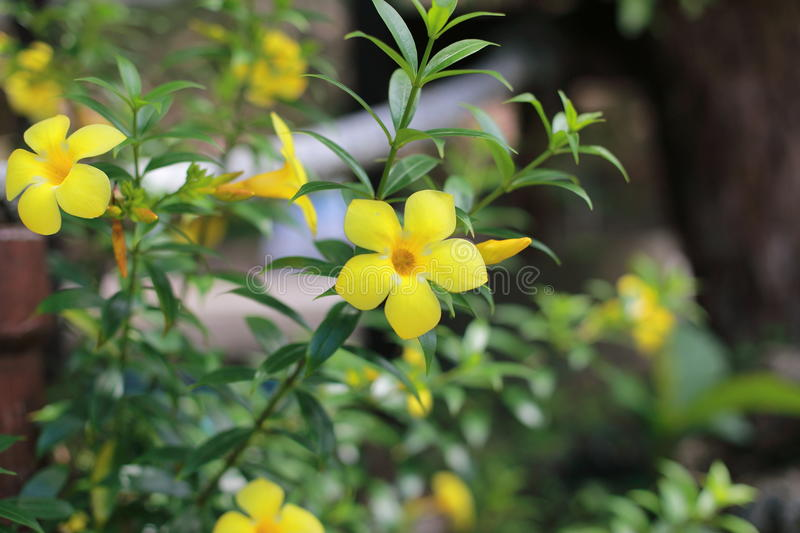 Tecoma stans. Is a species of flowering perennial shrub in the trumpet vine family, Bignoniaceae, that is native to the Americas. Common names include yellow stock photography