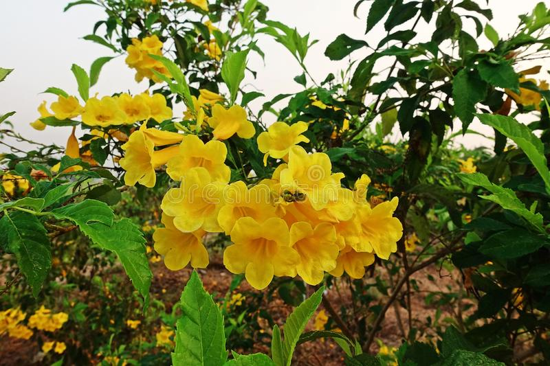 Tecoma stans a species of flowering shrub in the trumpet vine family download tecoma stans a species of flowering shrub in the trumpet vine family bignoniaceae mightylinksfo