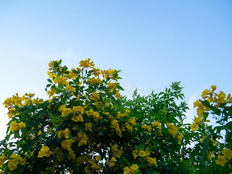 Tecoma stans tree in garden, Blossoms of Yellow Trumpetbush on blue sky, Common name is Yellow bell / Yellow elder / Trumpet vine. Tecoma stans tree in garden stock images