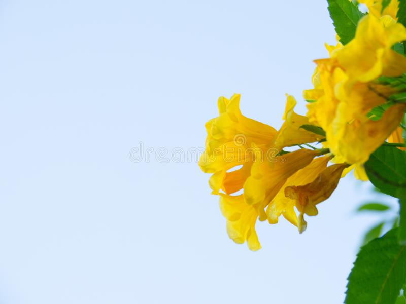 Tecoma stans tree in garden, Blossoms of Yellow Trumpetbush on blue sky, Common name is Yellow bell / Yellow elder / Trumpet vine. Tecoma stans tree in garden stock photos
