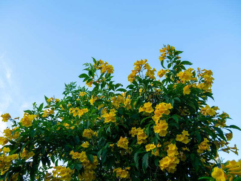 Tecoma stans tree in garden, Blossoms of Yellow Trumpetbush on blue sky, Common name is Yellow bell / Yellow elder / Trumpet vine. Tecoma stans tree in garden royalty free stock images