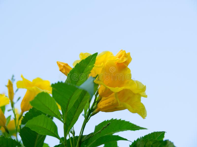 Tecoma stans tree in garden, Blossoms of Yellow Trumpetbush on blue sky, Common name is Yellow bell / Yellow elder / Trumpet vine. Tecoma stans tree in garden royalty free stock photo