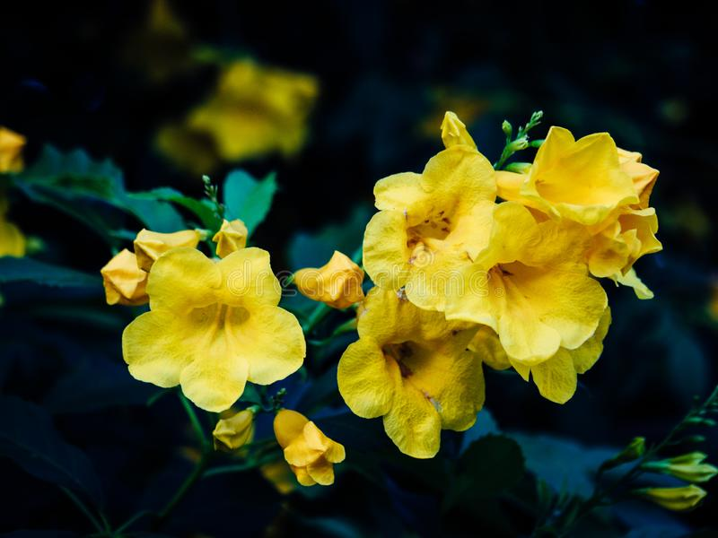 Tecoma stans tree in garden, Blossoms of Yellow Trumpetbush on blue sky, Common name is Yellow bell / Yellow elder / Trumpet vine. Tecoma stans tree in garden royalty free stock image
