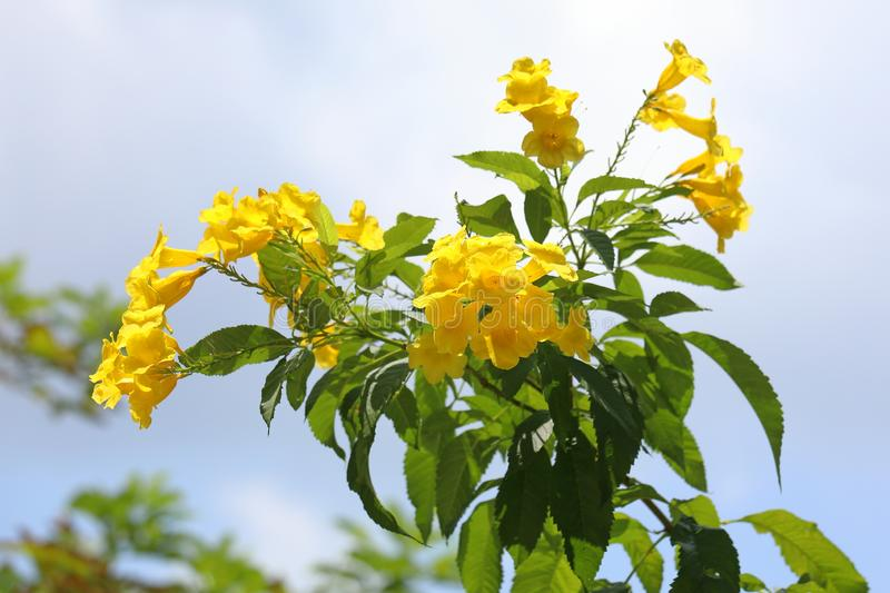 Tecoma stans. Yellow bells tecoma in Thailand. Tecoma stans. Branch tecoma flowers on sky background royalty free stock images