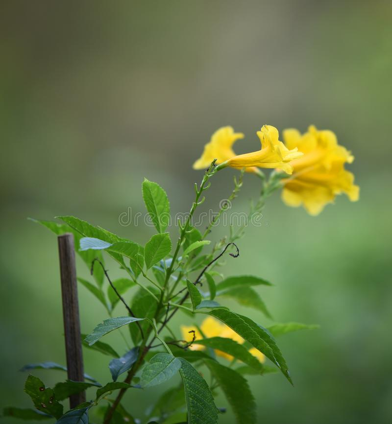 Tecoma stans Yellow elder Flower. Summer Flower Nature blurred background stock images