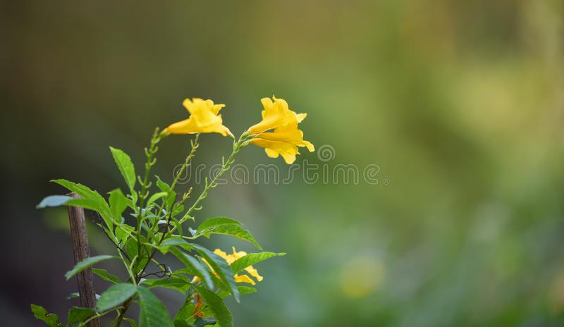 Tecoma stans Yellow elder Flower. Summer Flower Nature blurred background royalty free stock images