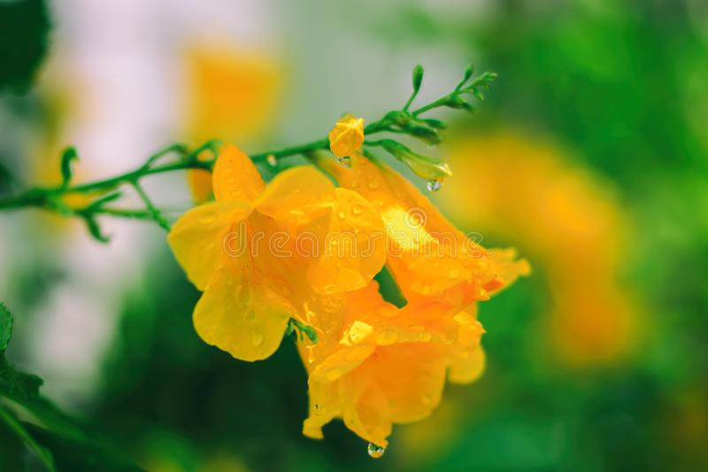 Tecoma stans or Yellow elder or Trumpetbush or Trumpet flower. Beautiful flower with rain drops in the garden for nature concept, selective focus image royalty free stock photography