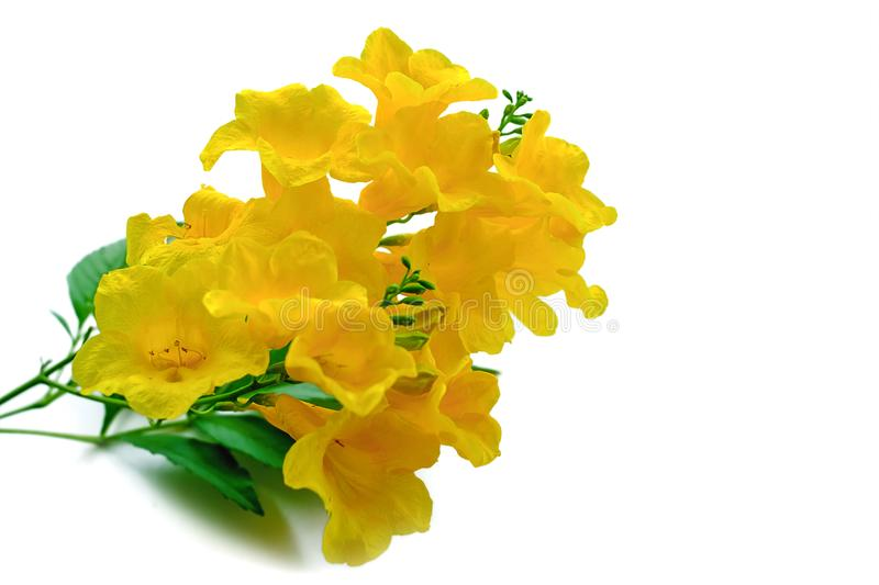 Tecoma stans or Yellow elder or Trumpetbush or Trumpetflower, be. Autiful flower on white background for botany and plant concept stock images
