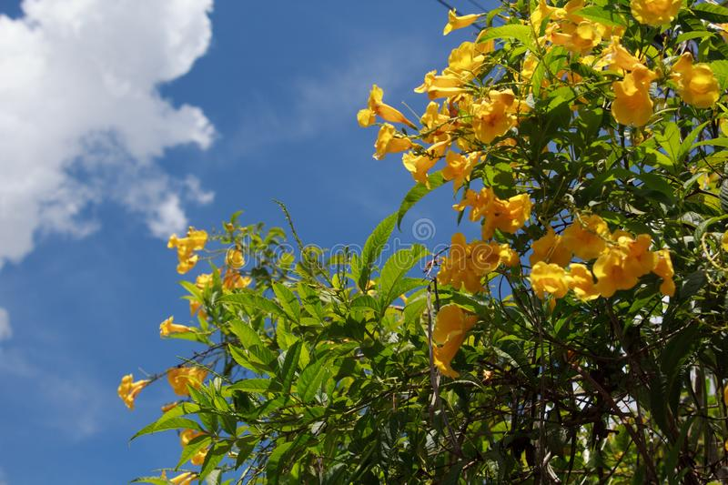 Tecoma Stans. Yellow flower blooming in every season in Brazil. Backdrop background beautiful beauty bell blossom blue botany branch bright bush close closeup royalty free stock images