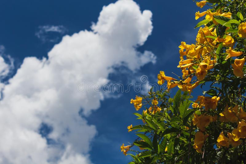 Tecoma Stans. Yellow flower blooming in every season in Brazil. Backdrop background beautiful beauty bell blossom blue botany branch bright bush close closeup stock photography