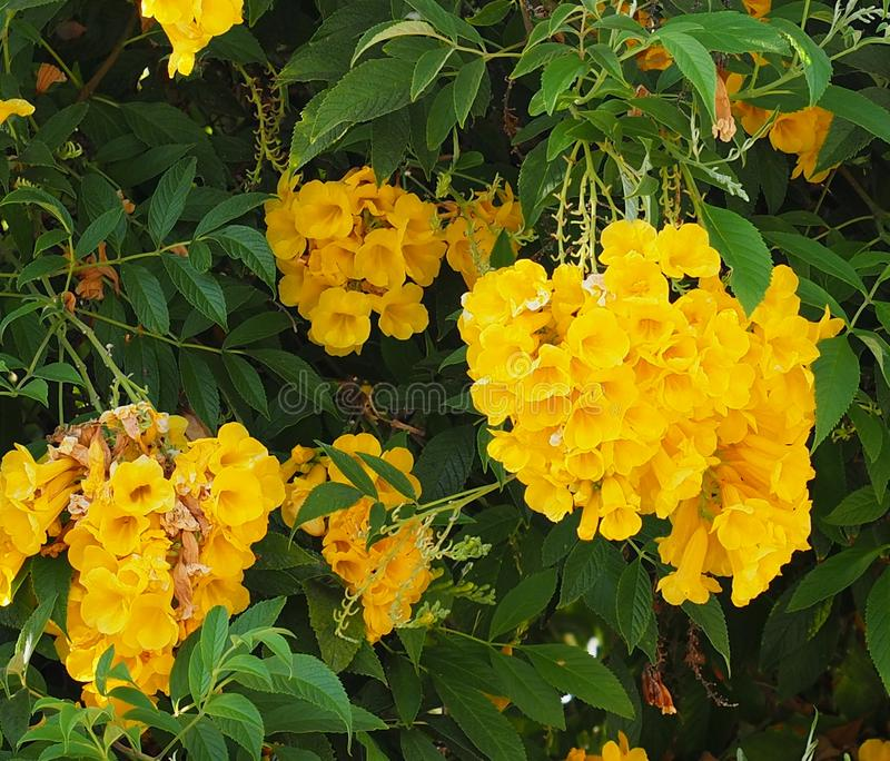 Tecoma Stans Or Yellow Trumpet Flower On Ilha Culatra Portugal. Tecoma stans or yellow trumpet flower in bloom in autumn on Ilha Culatra Algarve Portugal royalty free stock photo