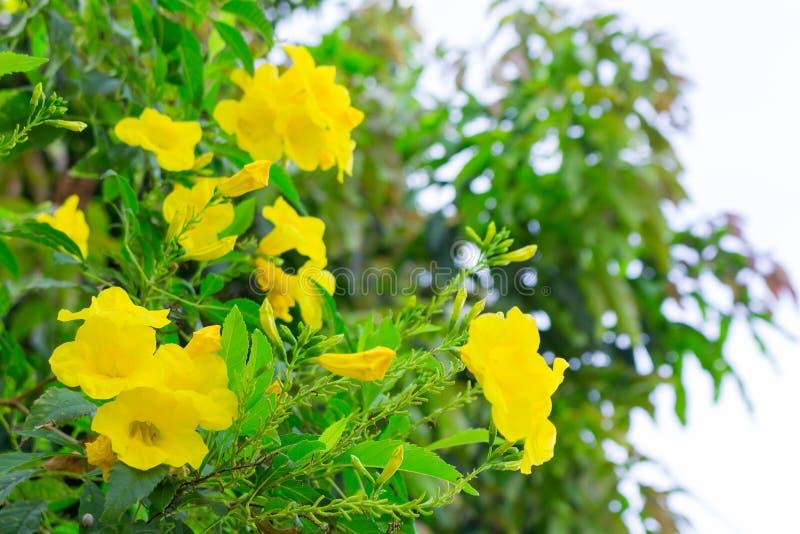Tecoma stans or Yellow Trumpetbush flower.  royalty free stock photos