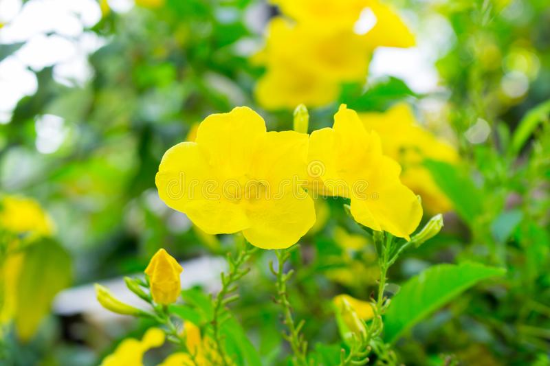 Tecoma stans or Yellow Trumpetbush flower.  royalty free stock images