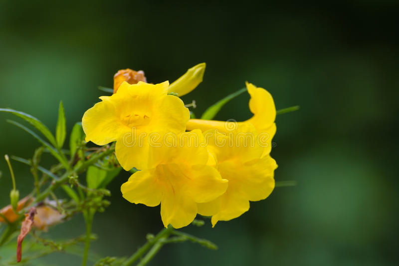 Tecoma stans or Yellow Trumpetbush flower. On tree stock images