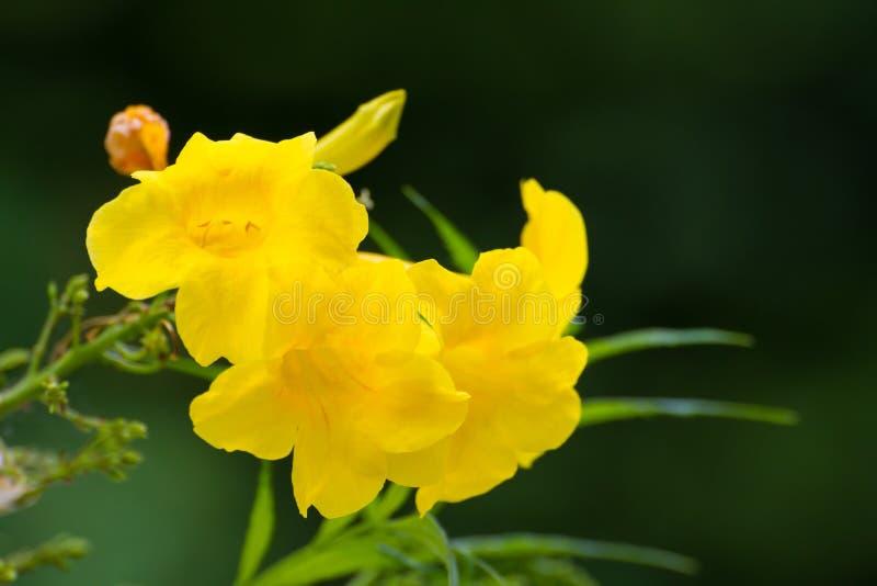 Tecoma stans or Yellow Trumpetbush flower. On tree royalty free stock photo