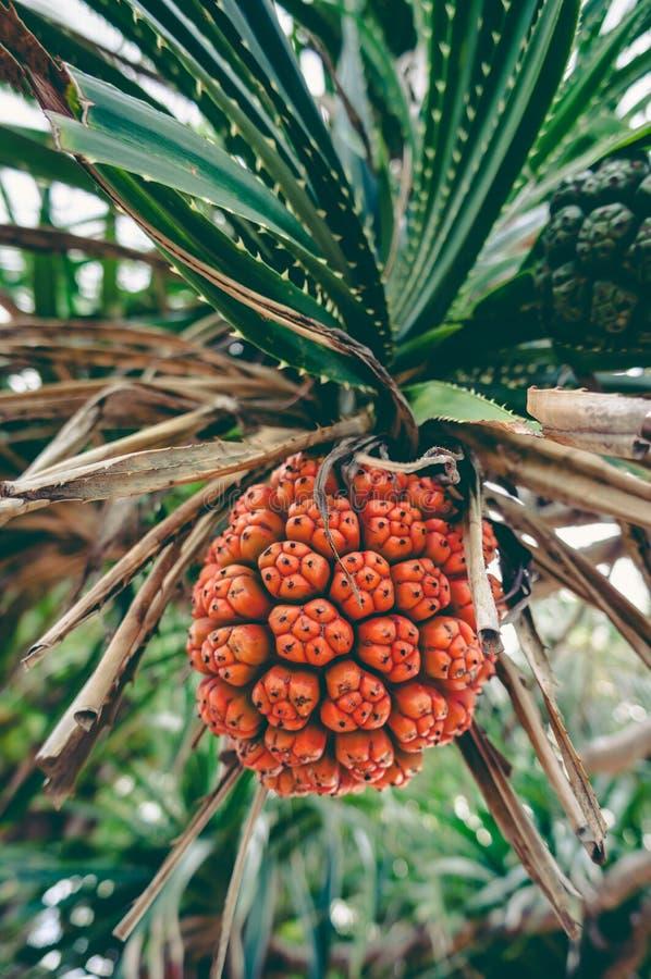 Tectorius bonito Hala do Pandanus da planta tropical, Bacua, Vacquo fotos de stock royalty free