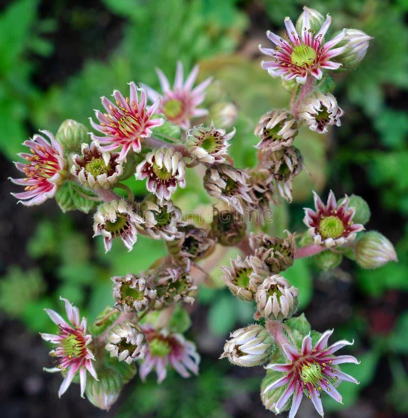 Tectorum de Sempervivum macro beaucoup photo stock