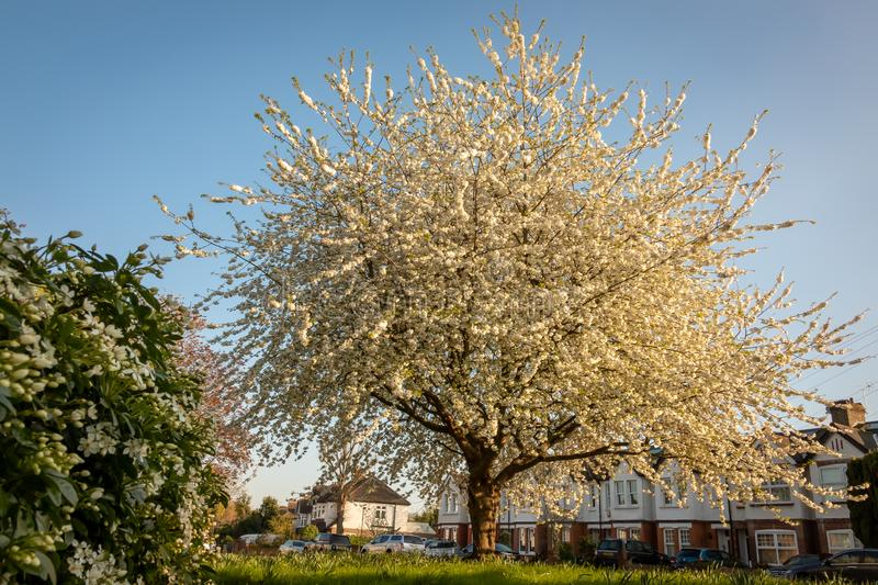 Tree in Full Bloom - Teddington South West London, UK. Tree in Full Bloom in Teddington, London royalty free stock photography