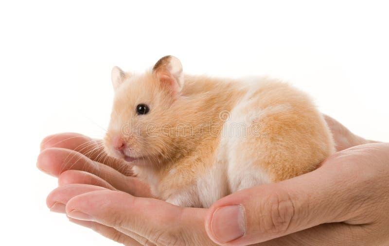 Teddy Bear Hamster royalty free stock photo