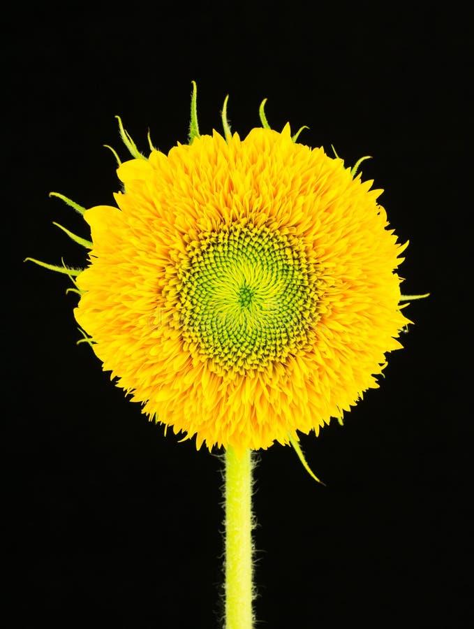 Download Teddy Bear Sunflower imagen de archivo. Imagen de cubo - 42426397