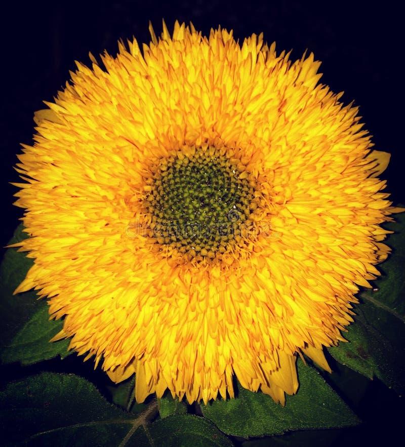 Teddy Bear sunflower helianthus stock photo