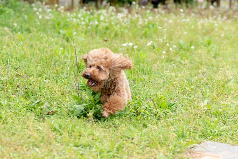 Teddy in de looppas-poedel royalty-vrije stock foto's