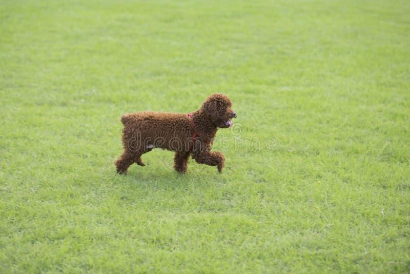 Teddy Dog photos stock