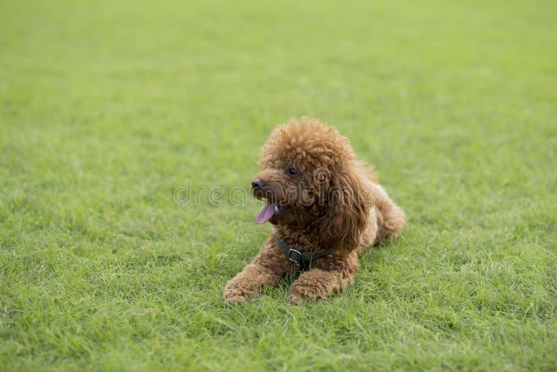 Teddy Dog photos libres de droits