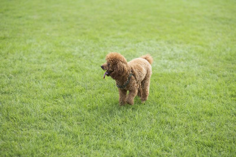 Teddy Dog photo stock