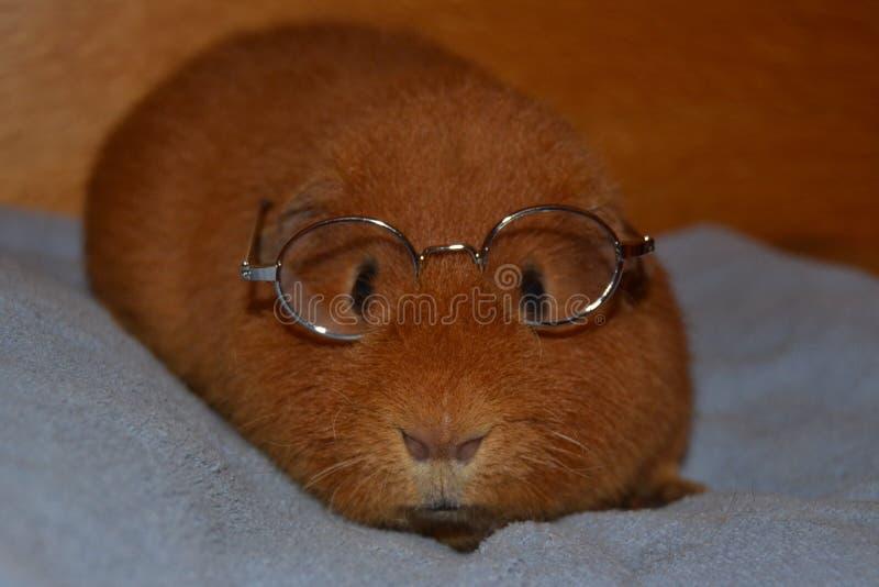 Teddy Guinea Pig con los vidrios fotografía de archivo libre de regalías