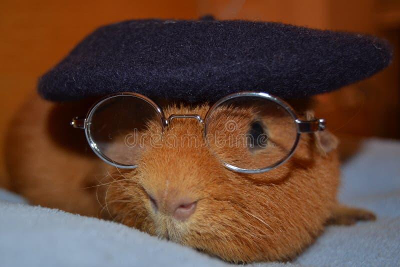 Teddy Guinea Pig con los vidrios y el sombrero de Berrett imágenes de archivo libres de regalías
