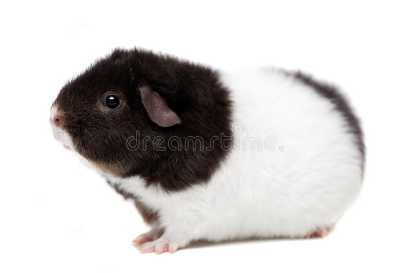 Teddy guinea pig stock photos