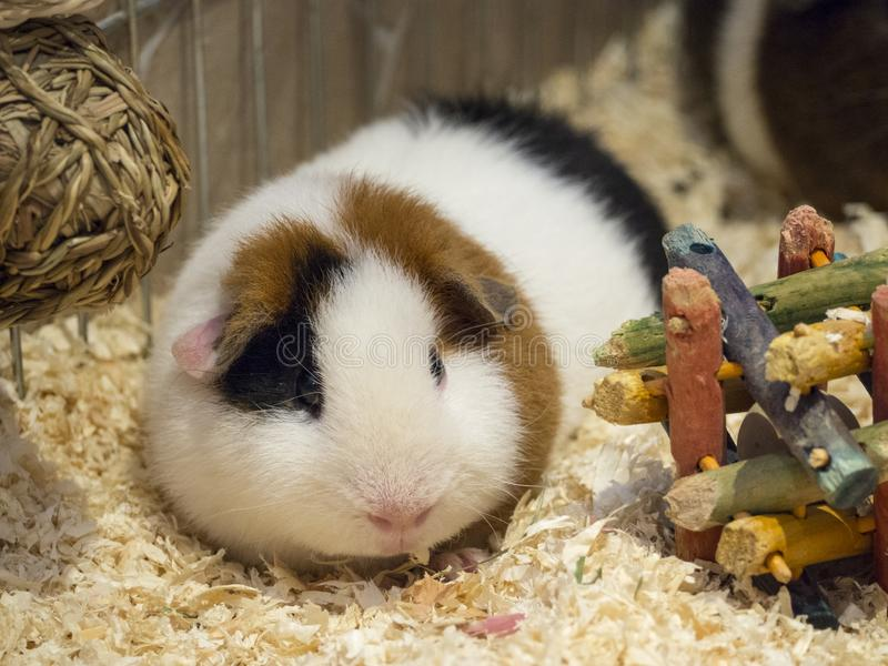 Teddy Guinea Pig nos aparas de madeira com brinquedos fotografia de stock royalty free