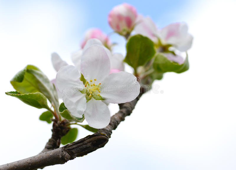 Download Tedere appelbloem stock foto. Afbeelding bestaande uit offerte - 54087584