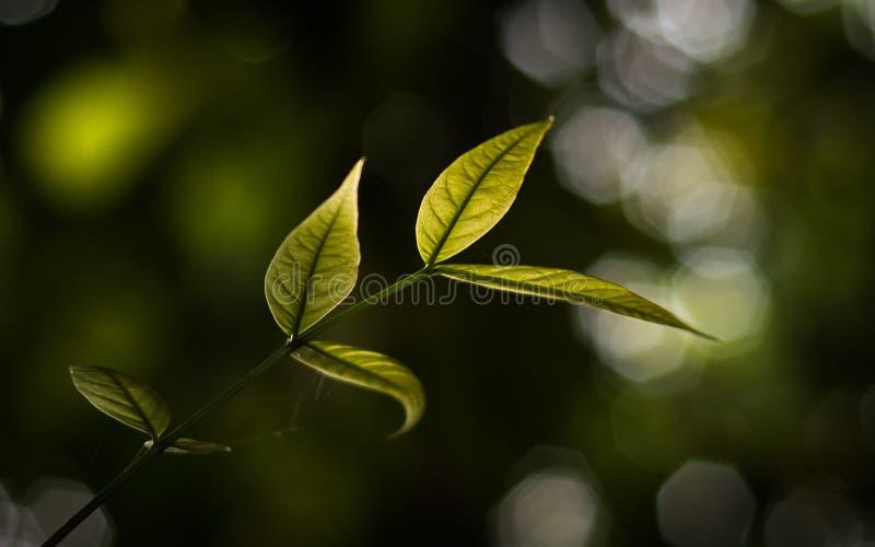 Tedere bladeren van Swietenia-macrophylla stock afbeeldingen