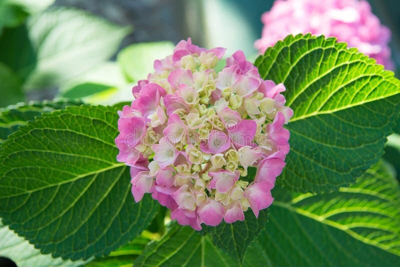 Tedere bloemen zachte kleine bloemblaadjes De geurconcept van het parfumaroma Bloemgeur Bloesem van roze hydrangea hortensia dich stock foto