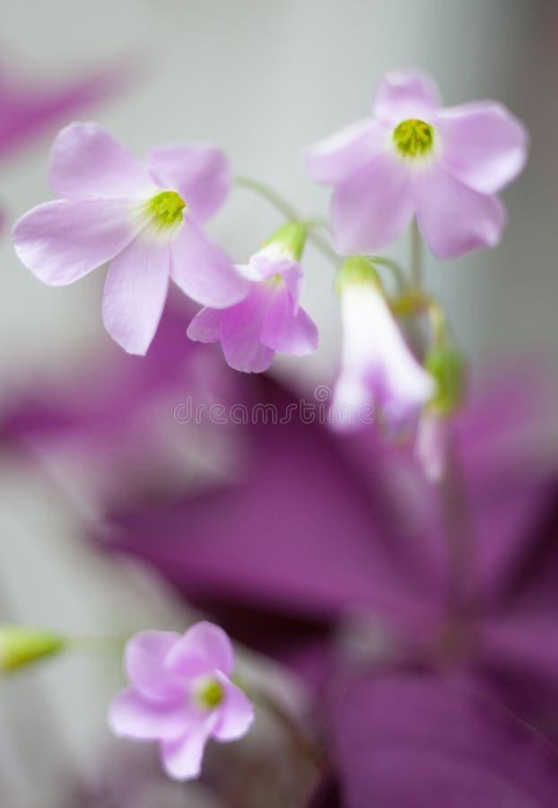 tedere purpere bloemen royalty-vrije stock foto