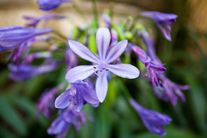 Tedere purpere bloemen in tuin royalty-vrije stock foto
