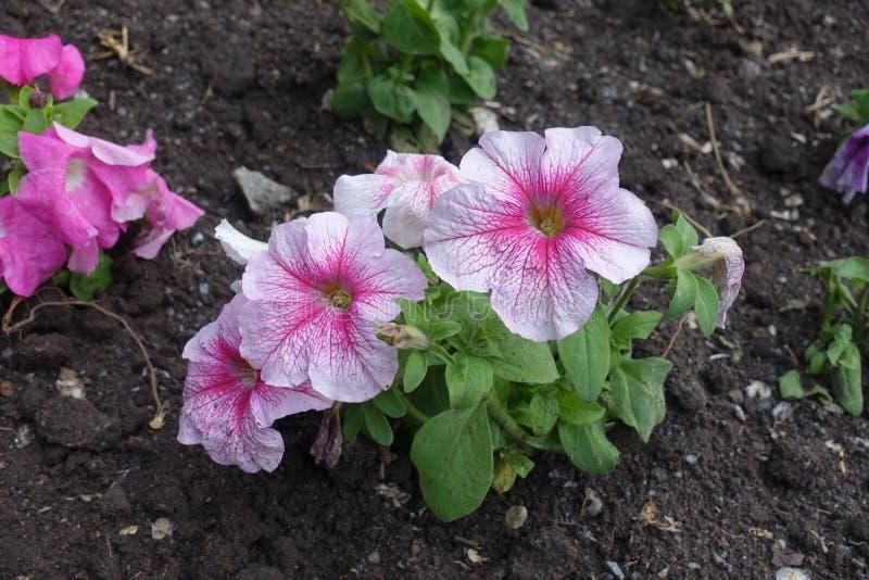 Tedere roze en witte bloemen van petunia royalty-vrije stock foto's