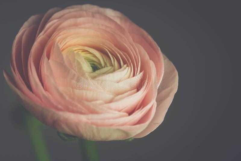 Tedere roze ranunculus bloem royalty-vrije stock foto